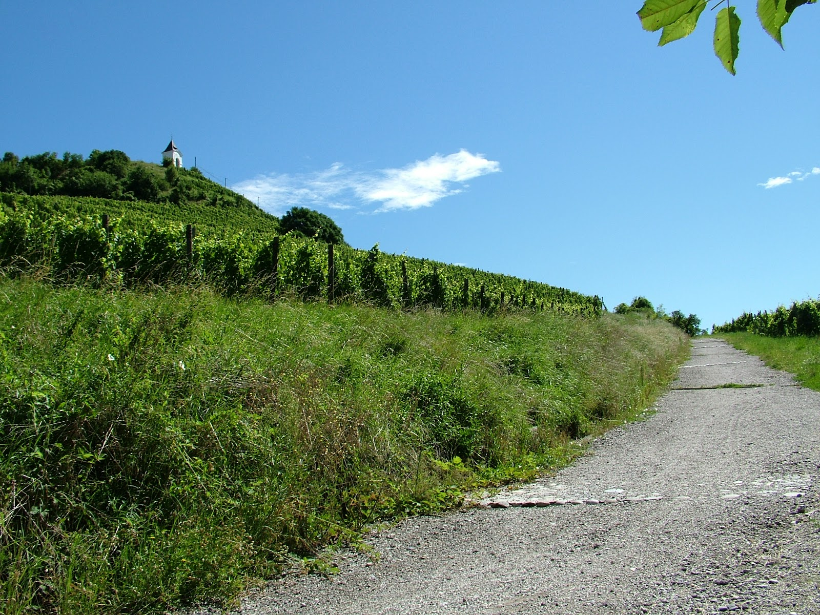 Pobuda za urbane vinograde